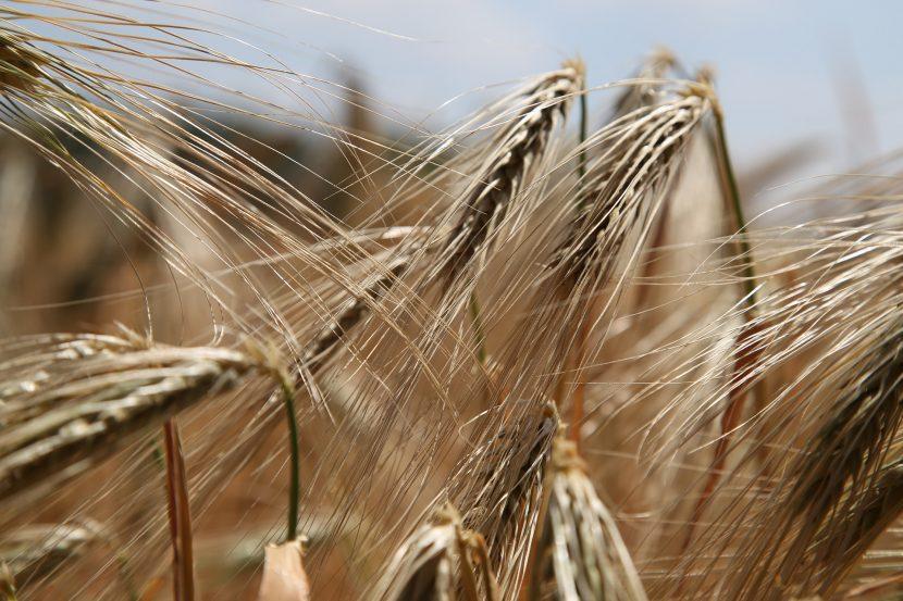 Image d'un champ de blé